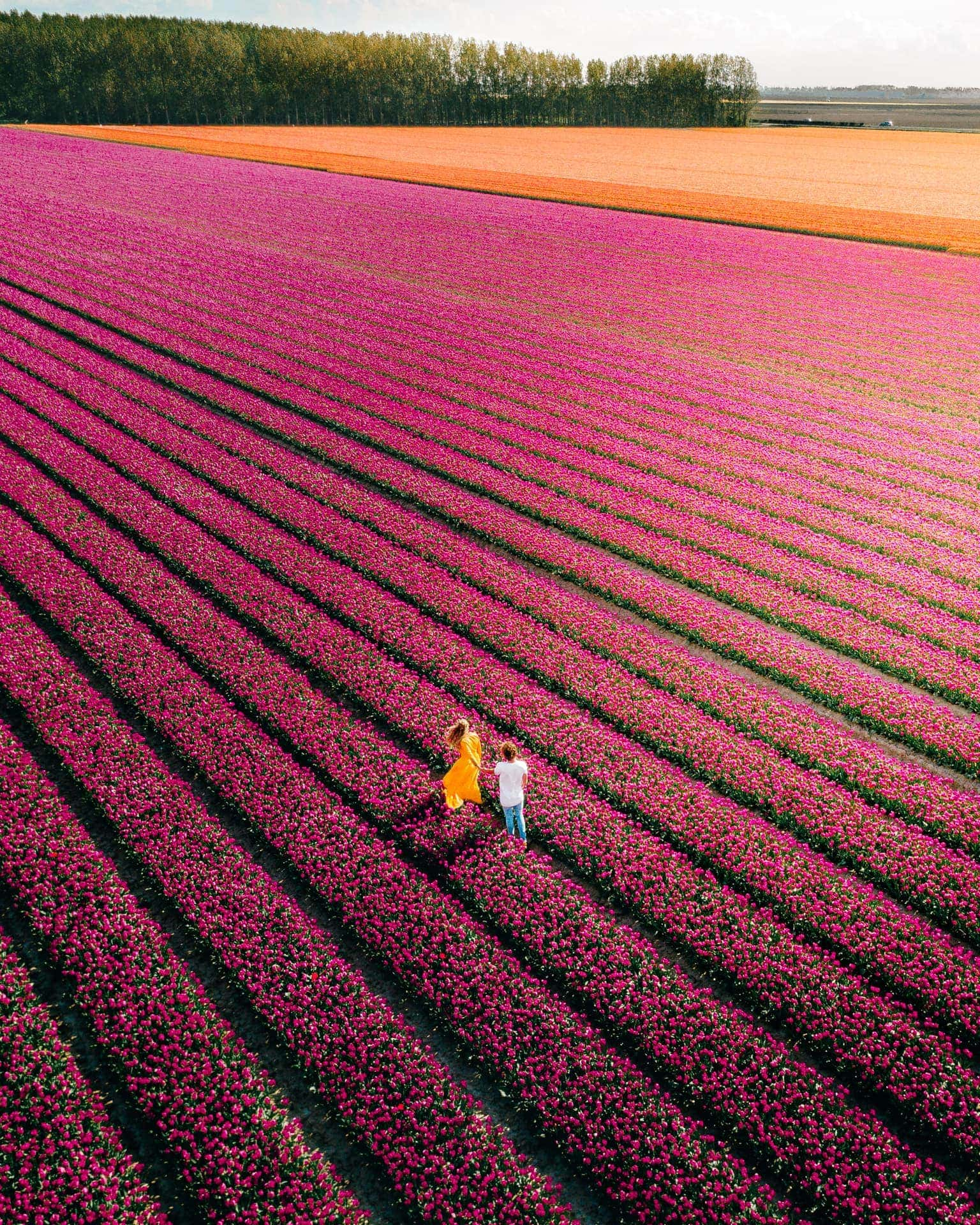 tulips netherlands beautiful field drone