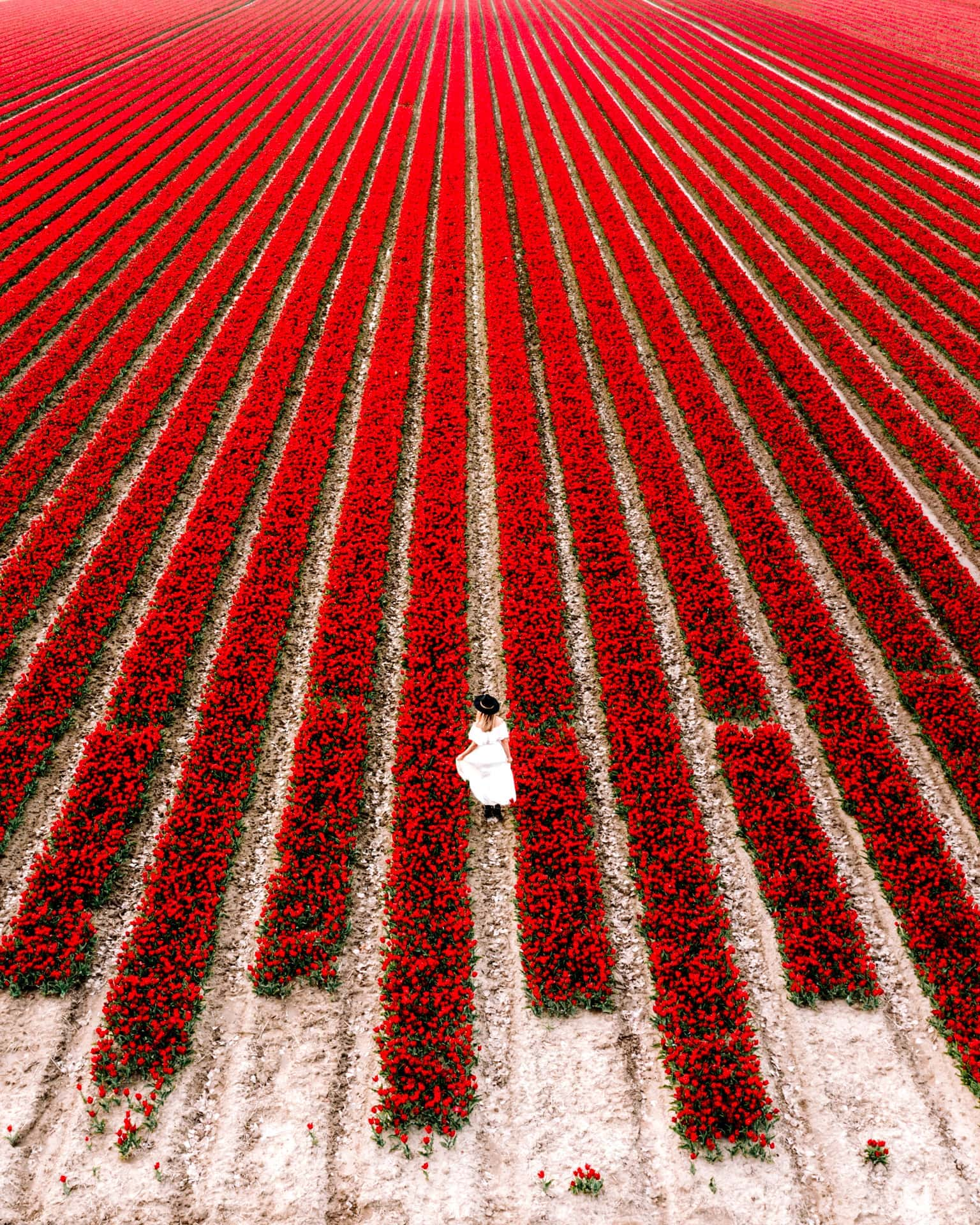 best tulips netherlands fields