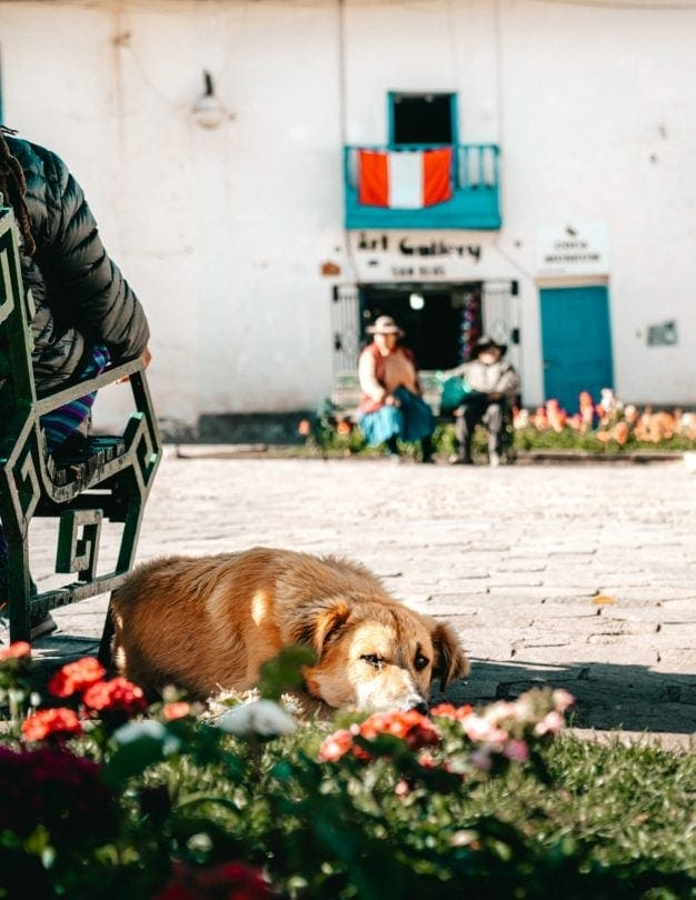 street dogs cusco